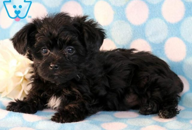 Buttons2-Yorkiepoo-Designer-Breed-Dog-Yorkie-Poodle-ACHC-IDCR-ICA