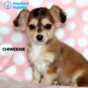 Chiweenie-healthy-responsibly-bred-Pennsylvania