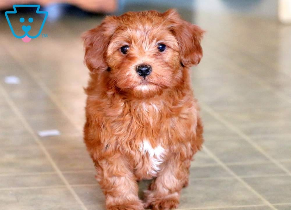 Cody | Morkiepoo Puppy For Sale | Keystone Puppies