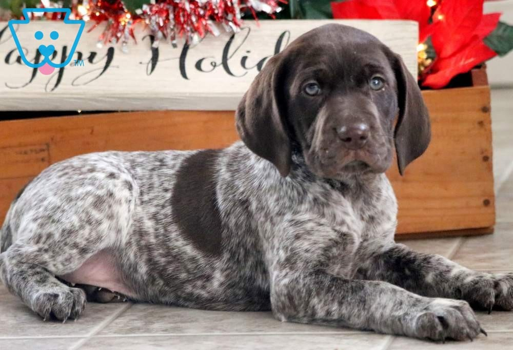 Cookie German Shorthaired Pointer Puppy For Sale Keystone Puppies
