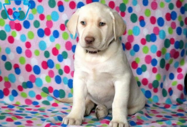 Gloria Yellow Labrador Retriever 1