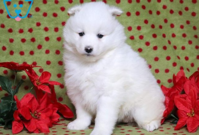 Hanna-Samoyed-Working-Dog-Breed-AKC