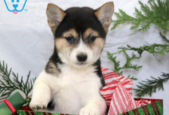 Hannah2-Shiba-Inu-Nonsporting-Dog-Breed-AKC