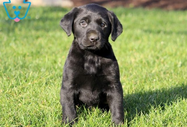 Hickory-Labrador-Retriever-Sporting-Dog-Breed-AKC-Black