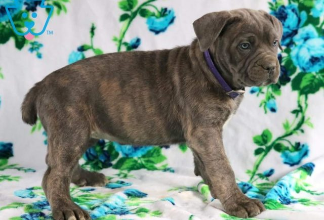 Jewels2-Cane-Corso-Working-Dog-Breed-AKC