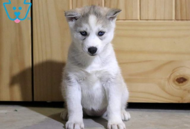 Lacey-Siberian-Husky-Working-Dog-Breed-AKC