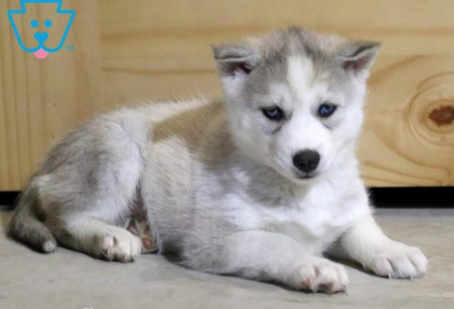 Lacey2-Siberian-Husky-Working-Dog-Breed-AKC