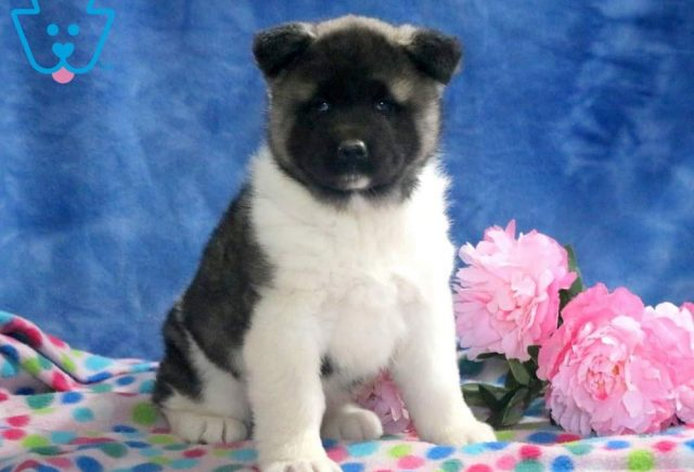 Libby-Akita-Breed-Working-Dog-AKC