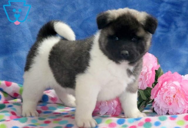 Love-Akita-Breed-Working-Dog-AKC