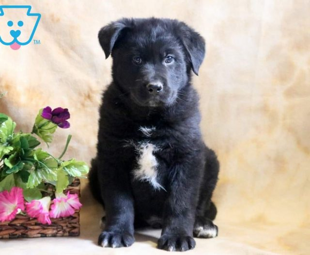 German Shepherd Mix Puppies For Sale Puppy Adoption Keystone Puppies