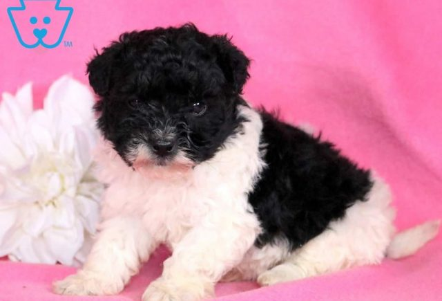Marley-Lhasapoo-Designer-Breed-Dog-Lhasa-Apso-Poodle-ACHC-IDCR-ICA