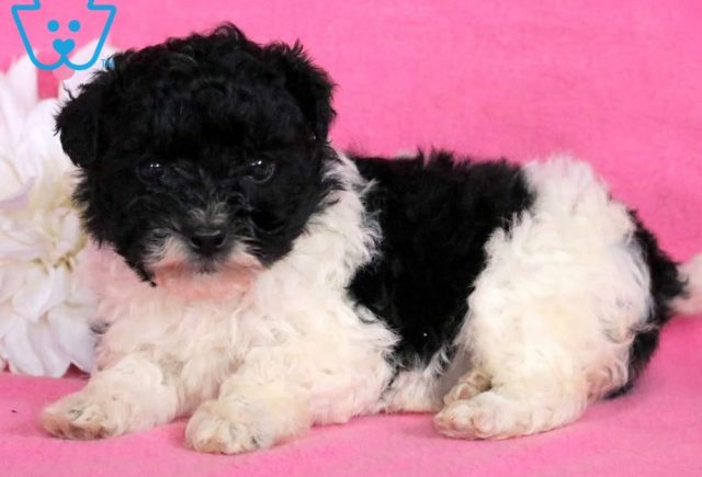 Marley2-Lhasapoo-Designer-Breed-Dog-Lhasa-Apso-Poodle-ACHC-IDCR-ICA