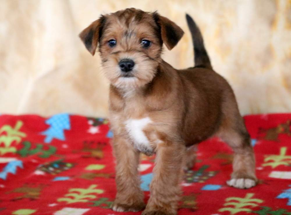 Schnauzer Mix Puppies For Puppy