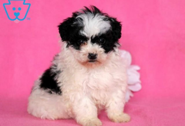 Misty-Lhasapoo-Designer-Breed-Dog-Lhasa-Apso-Poodle-ACHC-IDCR-ICA