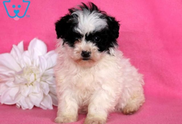 Misty2-Lhasapoo-Designer-Breed-Dog-Lhasa-Apso-Poodle-ACHC-IDCR-ICA