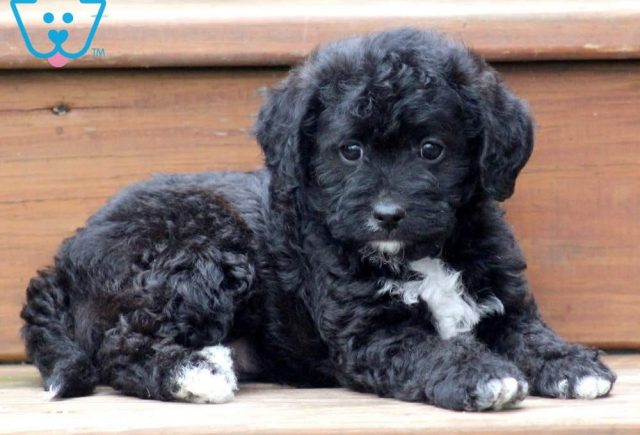 Molly-Poodle-Mixed-Breed-Dog