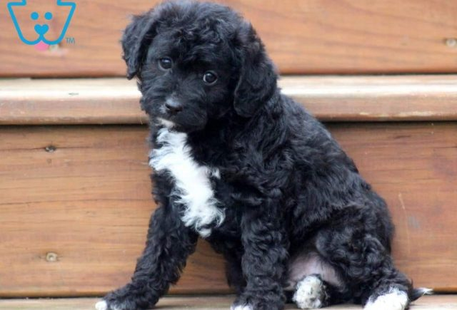 Molly2-Poodle-Mixed-Breed-Dog