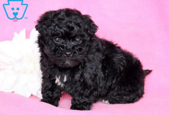 Muffin-Lhasapoo-Designer-Breed-Dog-Lhasa-Apso-Poodle-ACHC-IDCR-ICA