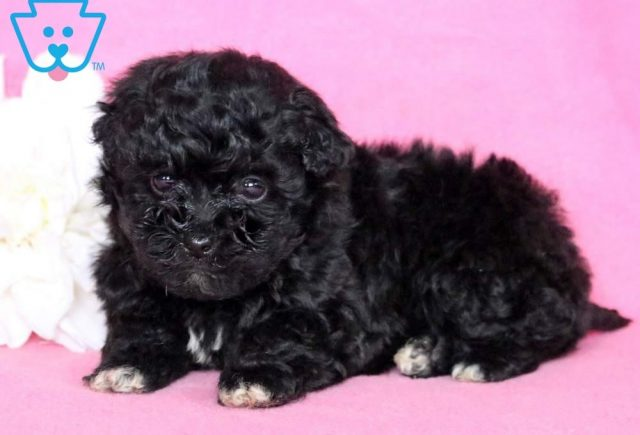 Muffin2-Lhasapoo-Designer-Breed-Dog-Lhasa-Apso-Poodle-ACHC-IDCR-ICA