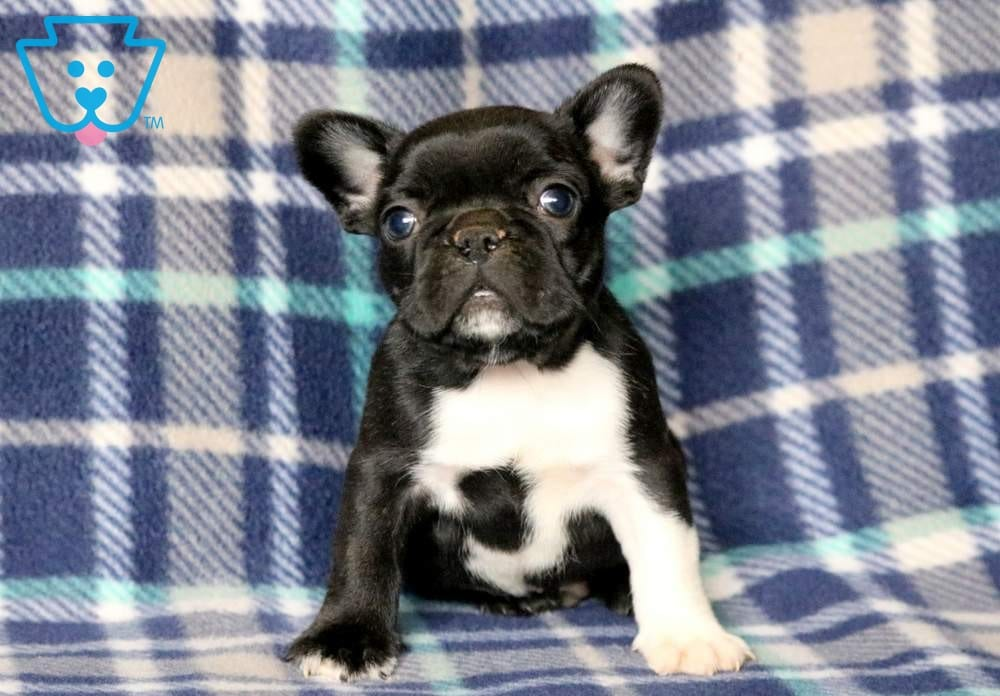 Panther French Bulldog Puppy For Sale Keystone Puppies