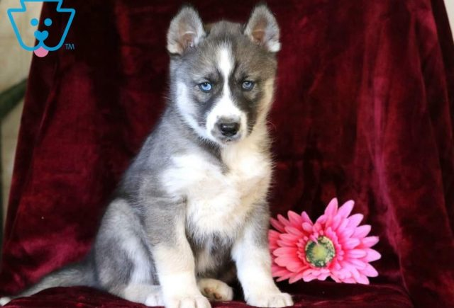 Pee-Wee-Siberian-Husky-Working-Dog-Breed-AKC