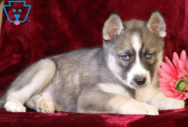 Pee-Wee2-Siberian-Husky-Working-Dog-Breed-AKC