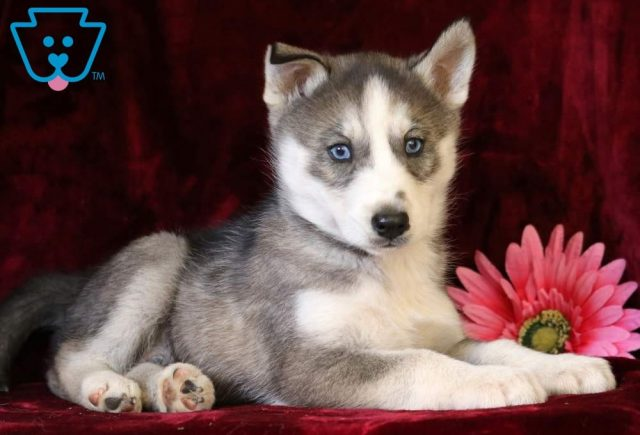 Pringles-Siberian-Husky-Working-Dog-Breed-AKC