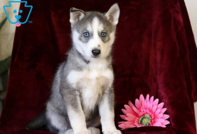 Pringles2-Siberian-Husky-Working-Dog-Breed-AKC