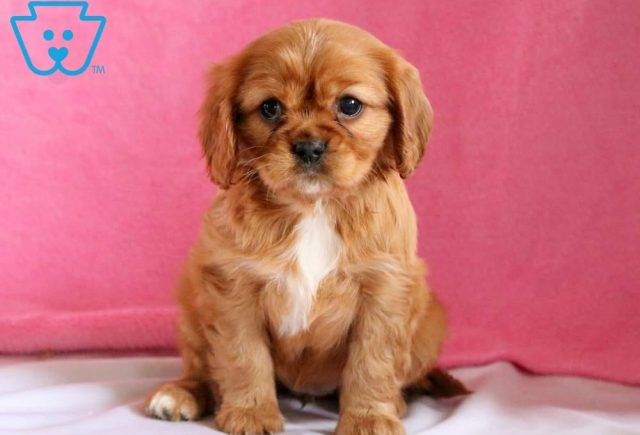 Rena-Cavalier-King-Charles-Spaniel-Toy-Breed-Dog-AKC