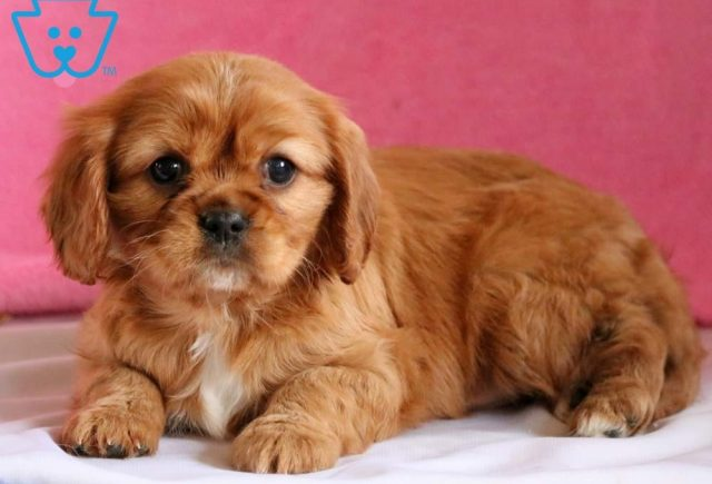 Rena2-Cavalier-King-Charles-Spaniel-Toy-Breed-Dog-AKC