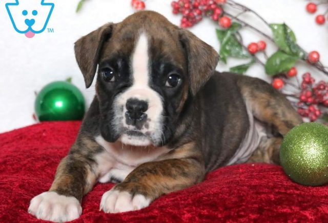 Rocket2-Boxer-Dog-Breed-Working-AKC