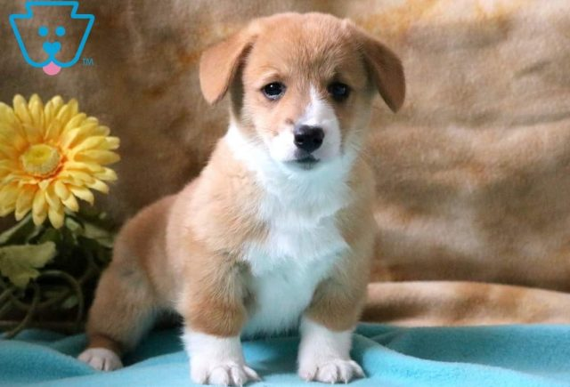 Sarge-Welsh-Corgi-Pembroke-Herding-Dog-Breed-AKCa