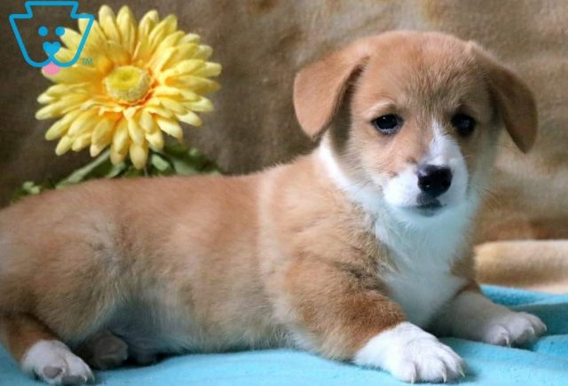 Sarge2-Welsh-Corgi-Pembroke-Herding-Dog-Breed-AKC