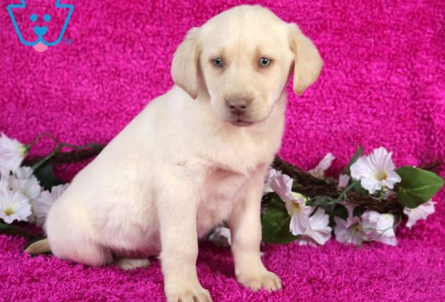 Serenity2-Labrador-Retriever-Sporting-Dog-Breed-AKC-Yellow