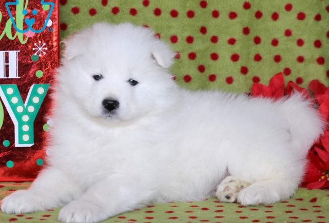 Sirius-Samoyed-Working-Dog-Breed-AKC