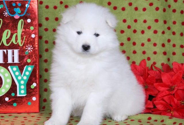 Sirius2-Samoyed-Working-Dog-Breed-AKC