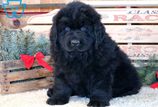 Sonny-Newfoundland-Working-Dog-Breed-AKC