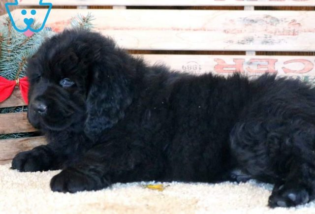 Sonny2-Newfoundland-Working-Dog-Breed-AKC