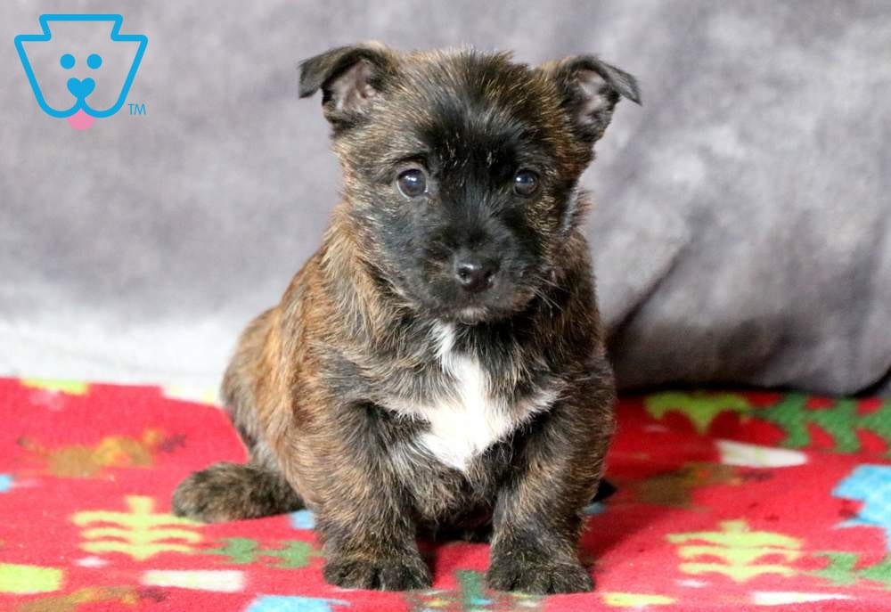 Sophia | Cairn Terrier Puppy For Sale | Keystone Puppies