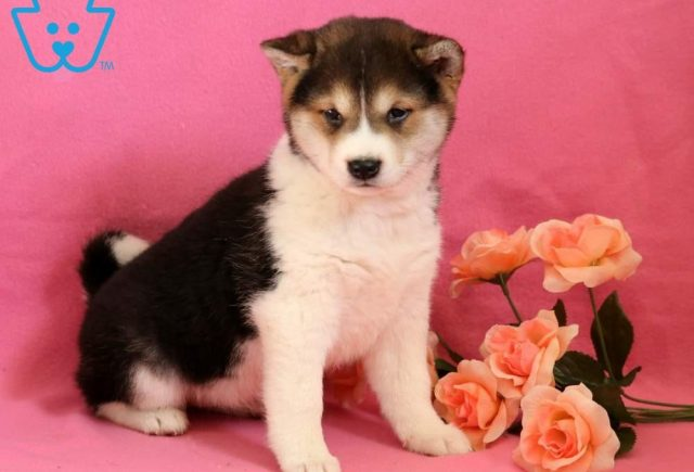 Sophie-Shiba-Inu-Nonsporting-Dog-Breed-AKC