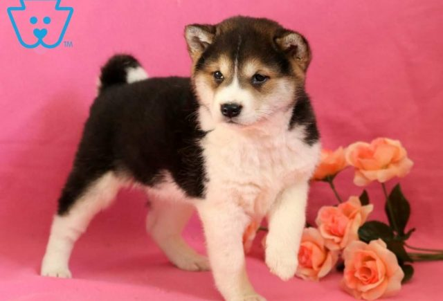 Sophie2-Shiba-Inu-Nonsporting-Dog-Breed-AKC