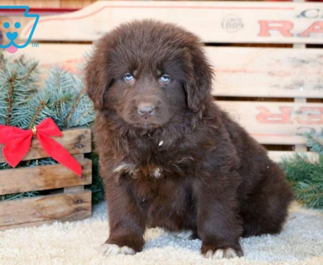 Sparkle Newfoundland Puppy For Sale Keystone Puppies