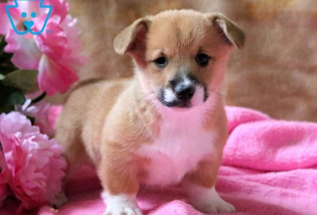 Special-Welsh-Corgi-Pembroke-Herding-Dog-Breed-AKC