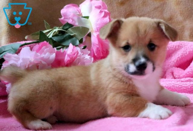 Special2-Welsh-Corgi-Pembroke-Herding-Dog-Breed-AKC