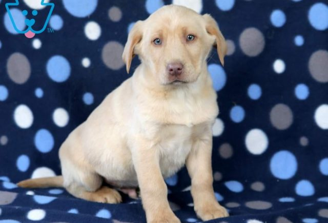 Spike-Labrador-Retriever-Sporting-Dog-Breed-AKC-Yellow