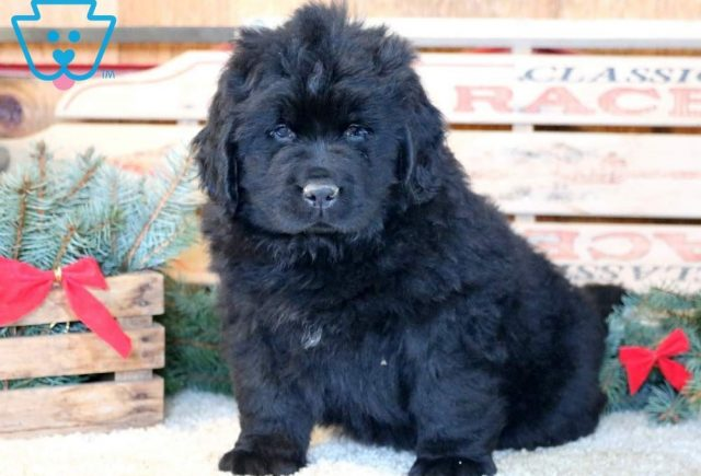 Sport-Newfoundland-Working-Dog-Breed-AKC