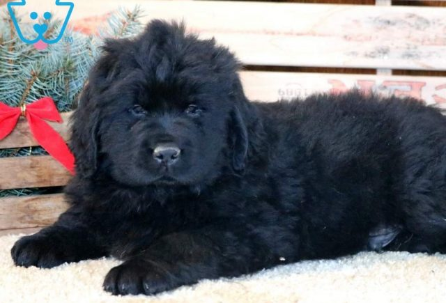 Sport2-Newfoundland-Working-Dog-Breed-AKC