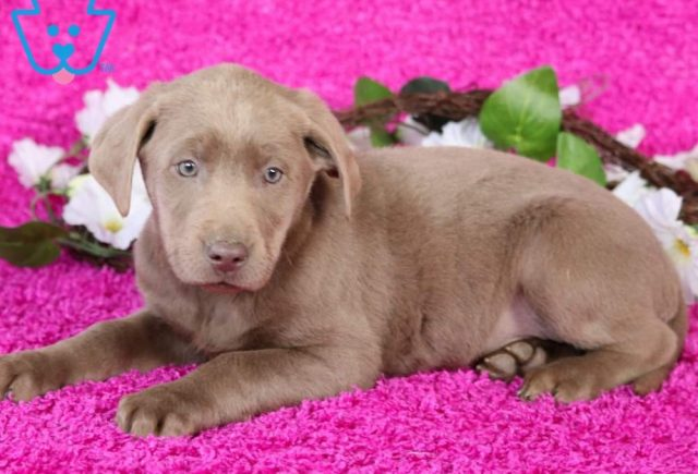 Star2-Labrador-Retriever-Sporting-Dog-Breed-AKC-Silver