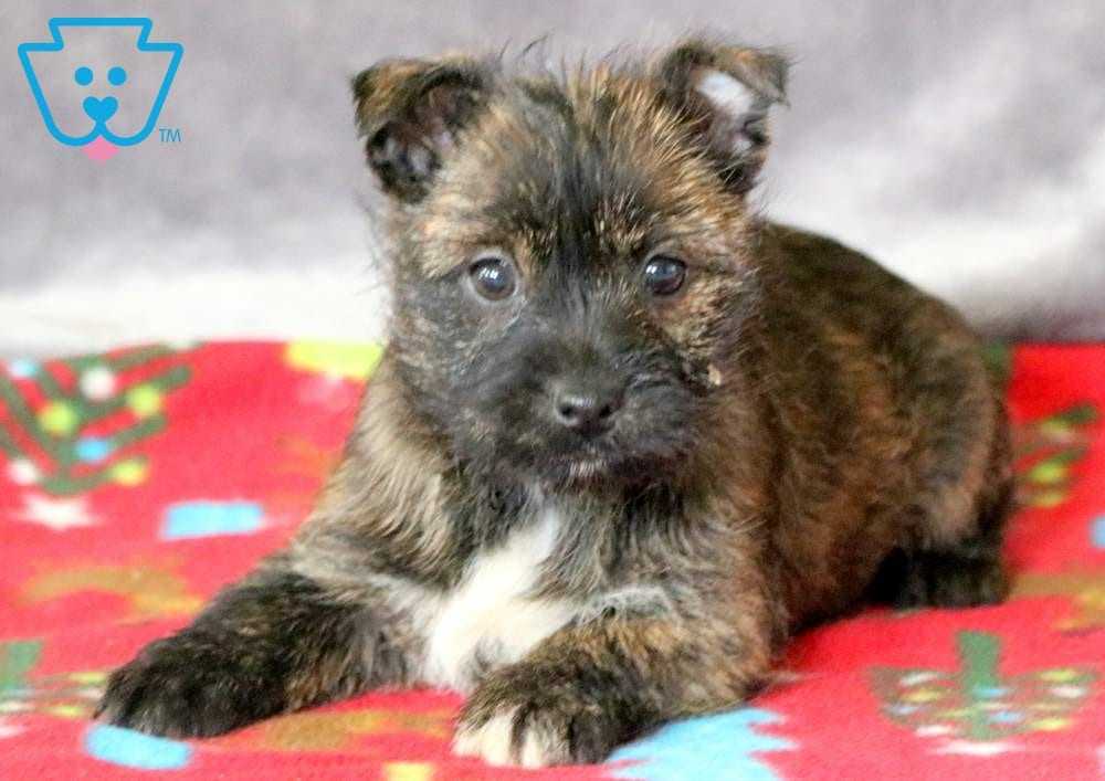 Sweetheart | Cairn Terrier Puppy For Sale | Keystone Puppies