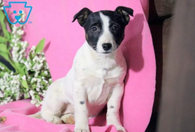 Tinkerbell Jack Russell Mix